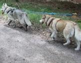 Husky-Trekking Kulz