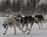 Schlittenhunde-Workshop Markt Bibart